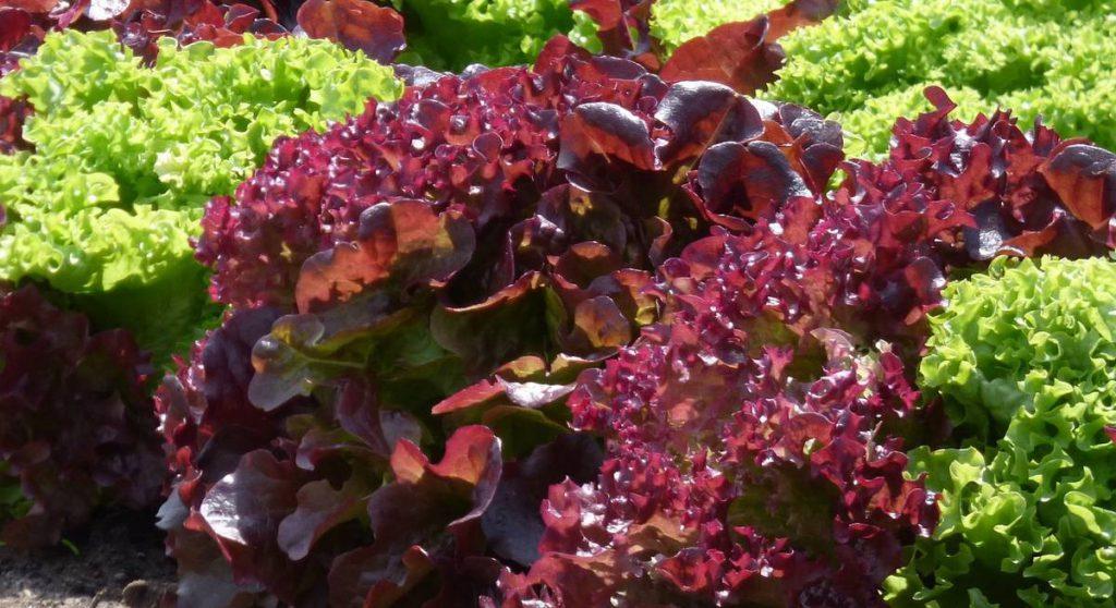 6 сортов салата с красной листвой
